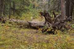 Tree Root Study