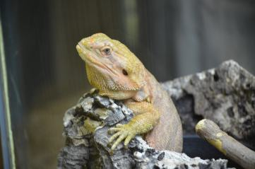 Yellow Bearded Dragon