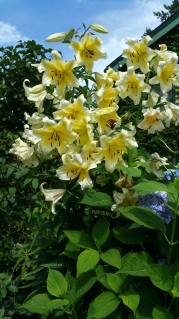 Yellow Lilies 2