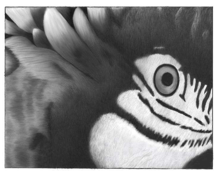 Macaw Study
